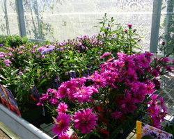 Pépinière Vernein - Moirans - plantes vivaces