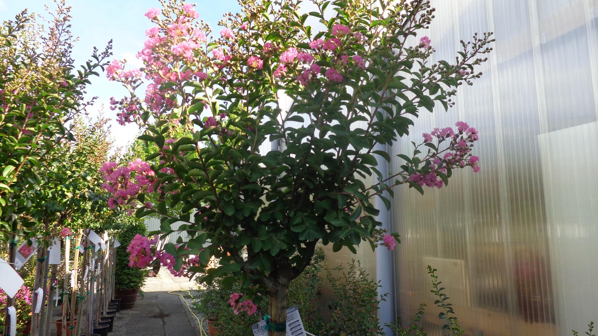 Les lilas des Indes, aussi appelé Lagestroemias, sont encore en fleurs !
