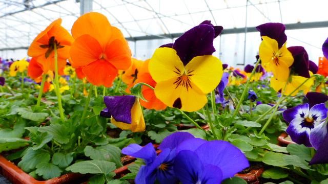 Pensées et primevères à planter en ce dernier mois d'hiver